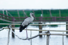 Asian Openbill Bird Are Stand ...