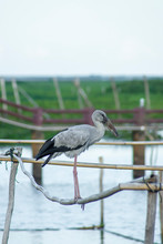 Asian Openbill Bird Are Stand ...