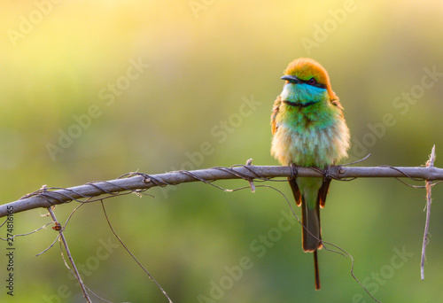 Leinwand Poster Green Bee-Eater (Merops Orientalis) with beautiful lighting