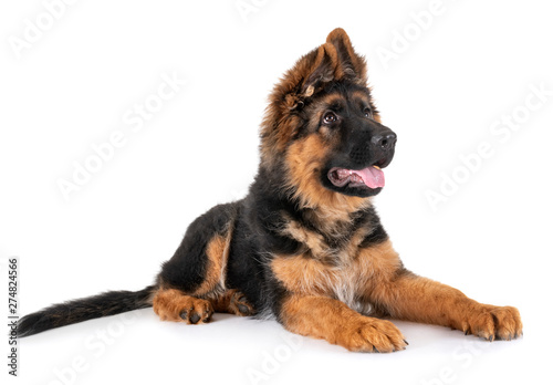 Fototapeta puppy german shepherd