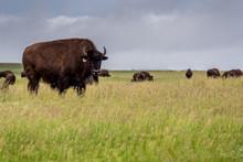Plains Bison Buffalo Grazing In A Pasture In Saskatchewan, Canada