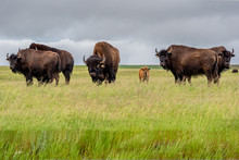 A Herd Of Plains Bison Buffalo...