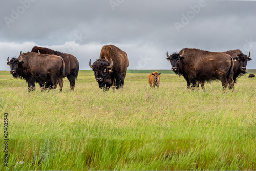 Photo sur Toile Bison A herd of plains bison buffalo with a baby calf grazing in a pasture in Saskatchewan, Canada
