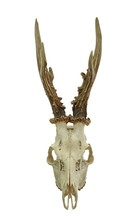 The European Roe Deer Capreolus Capreolus Skull With Antlers Isolated On White Background. Hunting Trophy Prepared For Exhibition. Gold Medal.