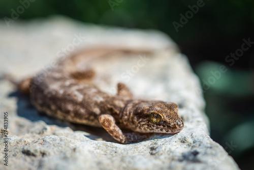 Even-fingered gecko genus Alcophyllex or squeaky gecko in wild nature Tapéta, Fotótapéta