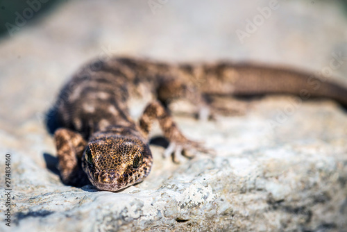 Vászonkép Even-fingered gecko genus Alcophyllex or squeaky gecko in wild nature