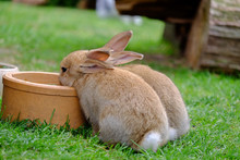 Two Brown Rabbits Drinking Water In The Garden.