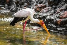 Yellow Billed Stork Fishing In...