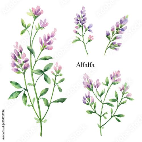 Hand drawn watercolor vector botanical illustration of Alfalfa. Canvas Print