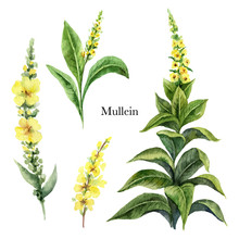 Hand Drawn Watercolor Vector Botanical Illustration Of Mullein.