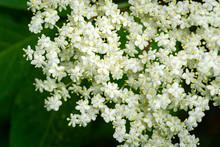 Macro Of Delicate Amazing Blossoming Of Black Sambucus (Sambucus Nigra) On Dark Green Background Of Garden. Selective Focus. Nature Concept For Design