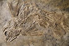 Latimeria Fish Fossil