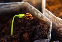 Papaya Plantation Seeding. Green Papaya Growing In The Pots