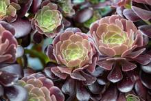 Close Up Of Beautiful Aeonium ...