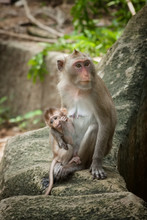 Cute Funny Monkey With Cub Face Portrait View In Natural Forest Of Thailand
