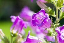 Beautiful Big Purple Bells On ...