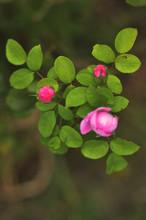 Trinity Rose Flowers In The Ga...