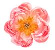 Leinwandbild Motiv Pink peony flower head isolated white background
