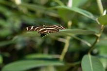 A Zebra Butterfly On A Leaf