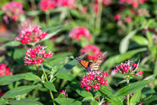 An Orange And Black Butterfly On A Red Flower In The Garden