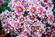 Outdoor View From Above Of Pattern Of Purple Pink White Osteospermum Flowers, Also Called Daisy, Asteraceae Family. Many Disc Florets And Ray Florets Visible. Spring Season And Sunny Day.