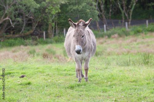 Canvas Print grey donkey