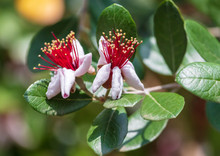 Flowers On The Branches Of The Feijoa Tree