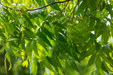 Green Leaves On The Branches O...