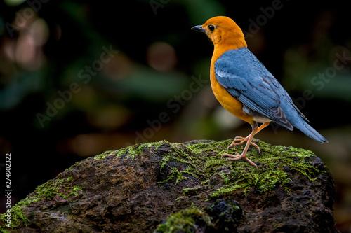 Photo  Orange-headed Thrush on rocks in nature