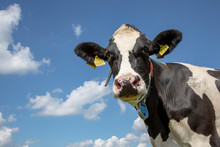 Portrait Of A Wise Mature Black-and-white Cow, Penetrating Look, Dark Dots On Her Pink Nose, Part Of Her Collar Hanging Loose In The Air, And A Blue Sky.