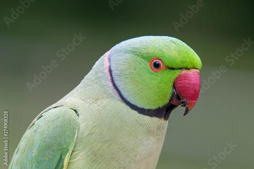 Fotomural Closeup view of the green rose-ringed (Psittacula krameri) parakeet