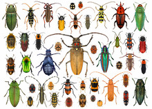 Beetles (Coleoptera). Set Of B...