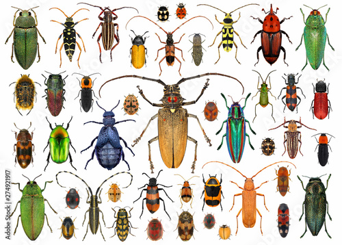 Canvas Print Beetles (Coleoptera)