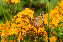 Painted Lady Butterfly On Wallflower Blossoms
