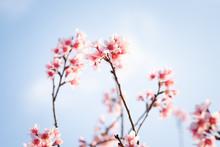 Prunus Cerasoides; Wild Himalayan Cherry