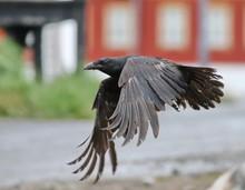 Raven In Flight, Corvus Corax,...