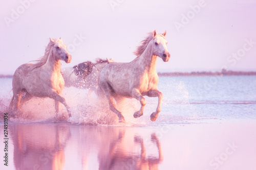Foto op Canvas Paarden White Camargue horses of a sea run gallop in the water in soft sunset light with splash and reflection, travel background, National park Camargue, Bouches-du-rhone, Provence-Alpes-Cote d'Azur, France