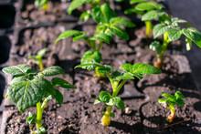 Varietal Potatoes Seedlings. S...