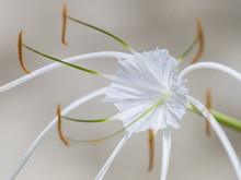 Close-up Beach Spider Lily (Hy...