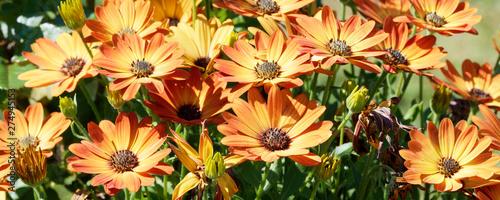 Cadres-photo bureau Fleuriste Marguerites du cap ou osteospermums jaune orange
