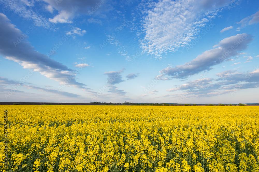 Fototapety, obrazy: Yellow rape fields in Ukraine