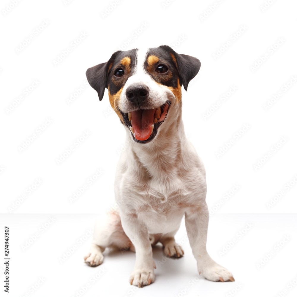 Fototapety, obrazy: Jack Russell Terrier, one years old, sitting in front of white background
