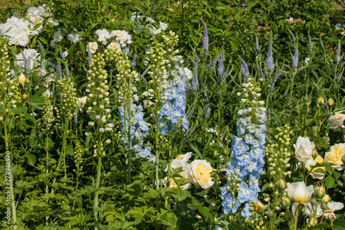 Foto Delphinium and roses in summer garden