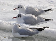 Three Frozen Seagulls Are Sitting On The Frozen And Snowy Water Of The Black Sea In The Cold.