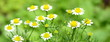 canvas print picture - Kamillenblüten - echte Kamille - Heilpflanze