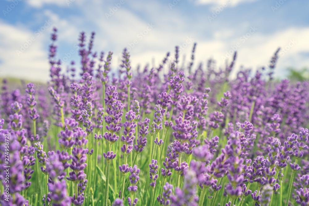 Fototapety, obrazy: Piękne kwiaty lawendy
