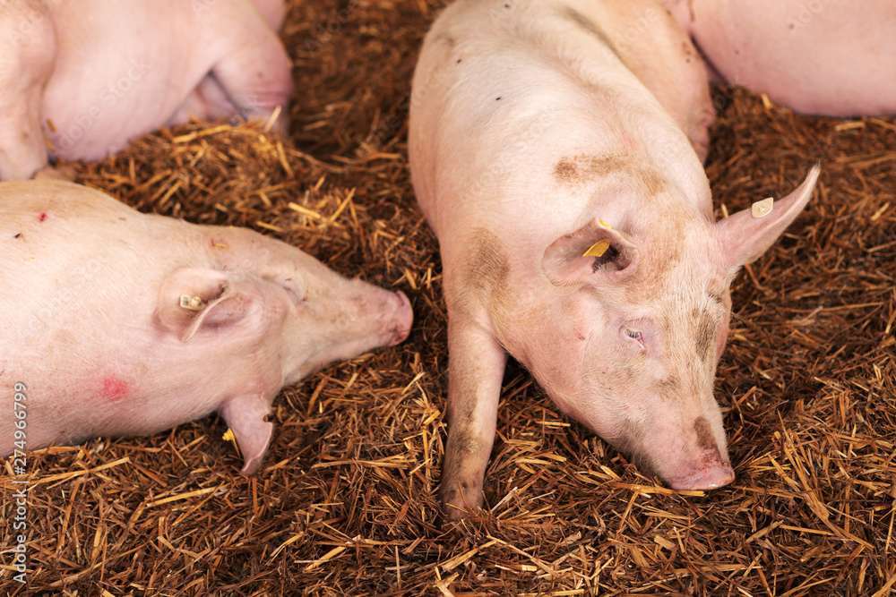 Fototapety, obrazy: American yorkshire female pigs in pen