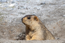 Funny Marmot Peeking Out Of A Burrow In Himalayas Mountain, Ladakh, India. Nature And Travel Concept