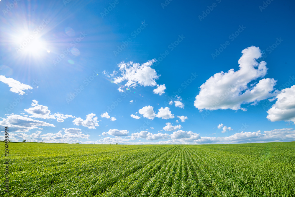 Fototapety, obrazy: View of agricultural field with white fluffy clouds in blue sky at sunny summer day