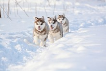 Red Husky Puppies In The Snow